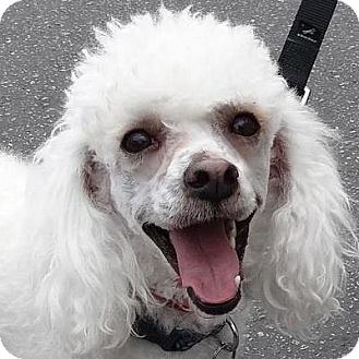 Bichon Frise Mix Dog for adoption in La Costa, California - Buddy