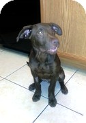 Labrador Retriever Mix Puppy for adoption in Las Vegas, Nevada - Hershey