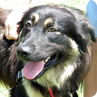 German Shepherd Dog Mix Dog for adoption in Columbia, Illinois - Oceanus