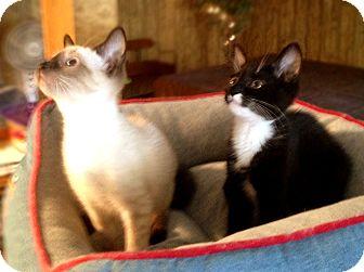 Siamese Kitten for adoption in Richmond, Virginia - Flint (adoption pending)