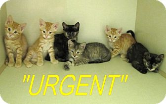Domestic Shorthair Kitten for adoption in Port St. Joe, Florida - 6 Adorable Kittens