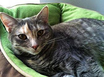 Domestic Shorthair Cat for adoption in Prescott, Arizona - Leslie