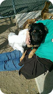 Shepherd (Unknown Type) Mix Puppy for adoption in Gardnerville, Nevada - Zipper
