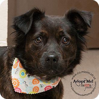 Retriever (Unknown Type)/Australian Shepherd Mix Dog for adoption in Troy, Ohio - Molly-Adopted