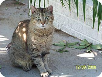 Domestic Shorthair Cat for adoption in Arlington/Ft Worth, Texas - Motley