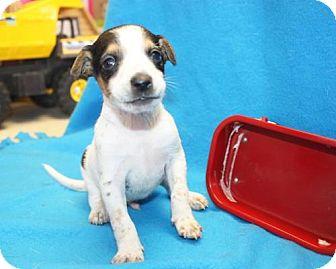 Jack Russell Terrier Mix Puppy for adoption in Cottageville, West Virginia - Von