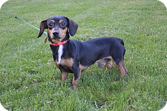 Dachshund Mix Dog for adoption in New Oxford, Pennsylvania - Blake