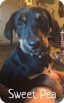 Rottweiler/Hound (Unknown Type) Mix Puppy for adoption in Oxford, Connecticut - Sweet Pea