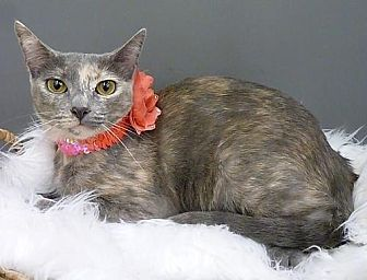Domestic Shorthair Cat for adoption in League City, Texas - Cleo