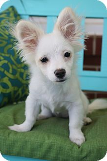 Chihuahua Mix Puppy for adoption in Hagerstown, Maryland - Calliope