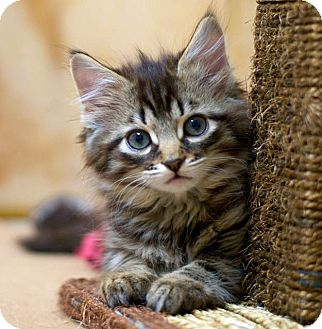 Domestic Longhair Kitten for adoption in Troy, Michigan - Raphael