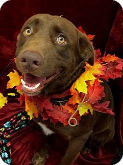 Labrador Retriever Mix Dog for adoption in Coppell, Texas - Dak
