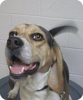 Beagle Mix Dog for adoption in LaGrange, Kentucky - Sherlock