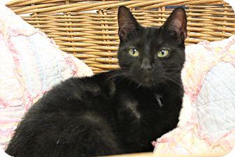 Domestic Shorthair Cat for adoption in Richand, New York - Nala