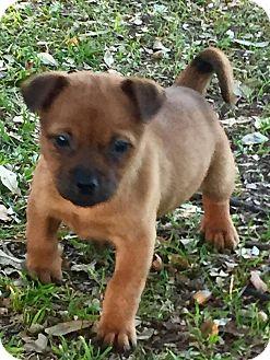 Terrier (Unknown Type, Small)/Shih Tzu Mix Puppy for adoption in Wichita Falls, Texas - Tamera