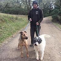 Airedale Terrier/Labrador Retriever Mix Dog for adoption in Pt. Richmond, California - MONTY