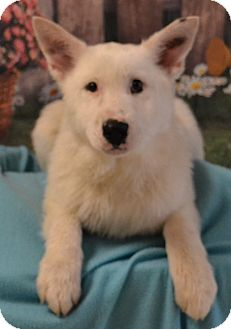 Husky/Great Pyrenees Mix Puppy for adoption in Lebanon, Missouri - Heidi