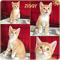 Adopt A Pet :: Ziggy - Jeffersonville, IN