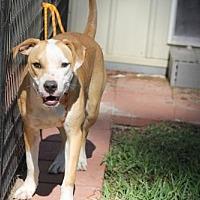 Adopt A Pet :: Old Yellow - Spring, TX