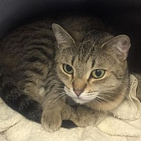 Adopt A Pet :: Sookie - Manchester, NH