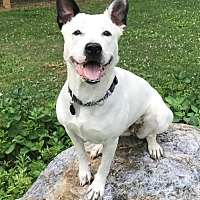 Cattle Dog/American Pit Bull Terrier Mix Dog for adoption in Taneytown, Maryland - Paddie