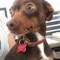 Adopt A Pet :: CocoaPuff - San Diego, CA