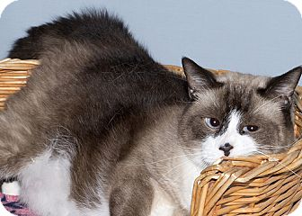 Snowshoe Cat for adoption in Gatineau, Quebec - Benny