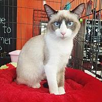 Snowshoe Kitten for adoption in Cerritos, California - Melodee
