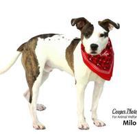 Adopt A Pet :: Milo - Port Charlotte, FL