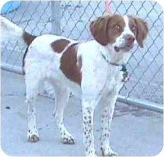 Brittany Dog for adoption in Austin, Minnesota - Kirby