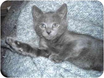 Russian Blue Kitten for adoption in Riverside, Rhode Island - Sky Bar