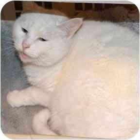 Domestic Shorthair Cat for adoption in Haughton, Louisiana - Baby