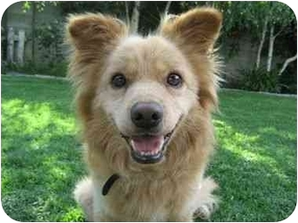 Pomeranian Mix Dog for adoption in Los Angeles, California - Kendall