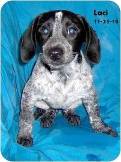 Labrador Retriever/Spaniel (Unknown Type) Mix Puppy for adoption in Avon, New York - Laci