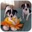 Photo 2 - Dalmatian/Labrador Retriever Mix Puppy for adoption in McArthur, Ohio - The Wiggles