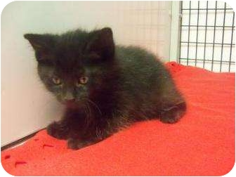 Domestic Shorthair Kitten for adoption in Decatur, Illinois - Tidbit