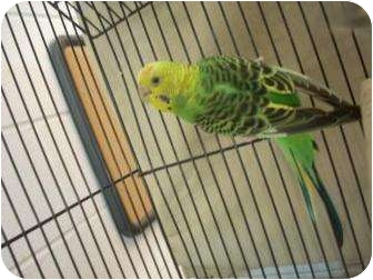 Parakeet - Other for adoption in North Charleston, South Carolina - Satine