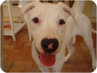 American Bulldog Mix Puppy for adoption in Miami-Dade and Naples/Ft Myers areas, Florida - STELLA