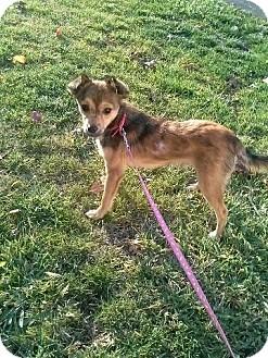 Pomeranian/Chihuahua Mix Puppy for adoption in Garden City, Michigan - Max