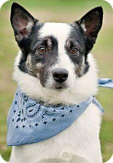Border Collie Mix Dog for adoption in Portsmouth, Rhode Island - Jake