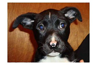 Border Collie/Terrier (Unknown Type, Medium) Mix Puppy for adoption in Pompton Lakes, New Jersey - Bubble Yum