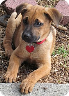German Shepherd Dog/Labrador Retriever Mix Puppy for adoption in Torrance, California - TARA