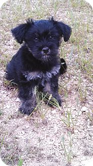 Yorkie, Yorkshire Terrier/Poodle (Miniature) Mix Puppy for adoption in Glastonbury, Connecticut - Gawen-adoption fee reduced