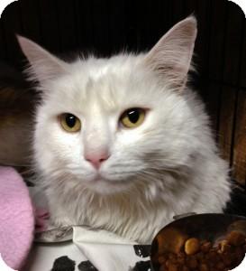 Domestic Mediumhair Cat for adoption in Medford, Massachusetts - Clyde