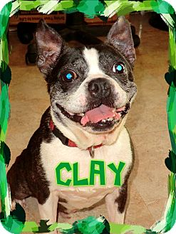 Boston Terrier Mix Dog for adoption in Tampa, Florida - Clay
