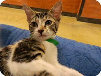 Domestic Shorthair Kitten for adoption in The Colony, Texas - Dottie