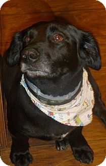 Labrador Retriever Mix Dog for adoption in Cookeville, Tennessee - Bear