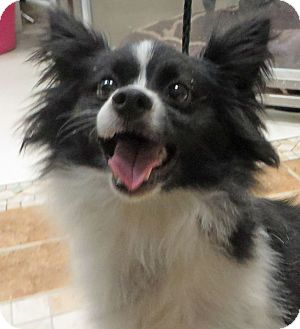 Papillon Dog for adoption in Middletown, New York - Henry