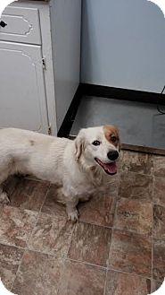 Welsh Springer Spaniel/Brittany Mix Dog for adoption in Darlington, South Carolina - St. Nick