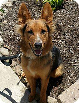 Australian Cattle Dog/Collie Mix Dog for adoption in Lisbon, Ohio - Rocky- Adoption Pending!